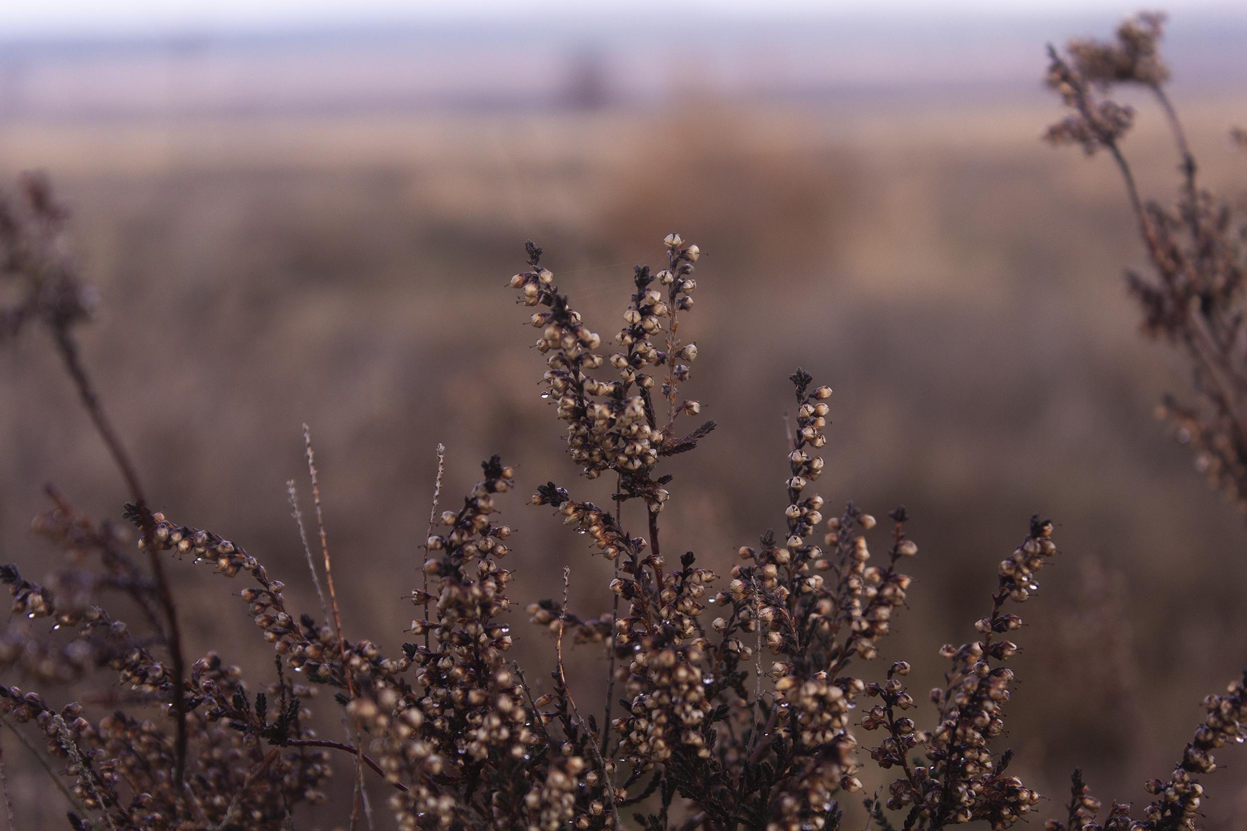 Heide plant